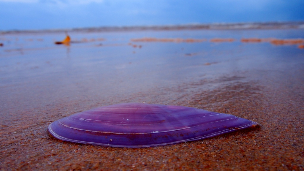 A sea, a river, an estuary and a purple shell